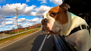 dogs-and-cars